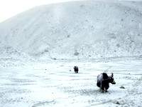 Yaks in the snow in Nepal