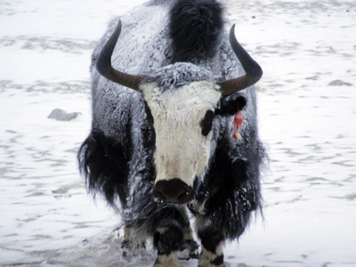 Close up photograph of a yak in the snow