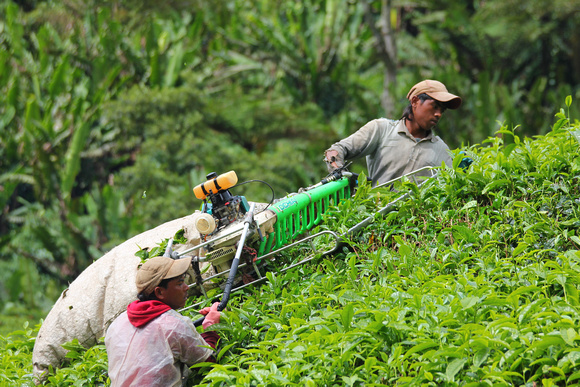 Tea leaf pickers in the Cameron Highlands