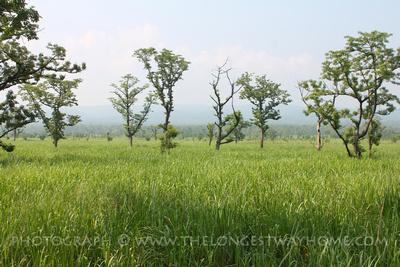 Open plains of elephant grass in Chitwan