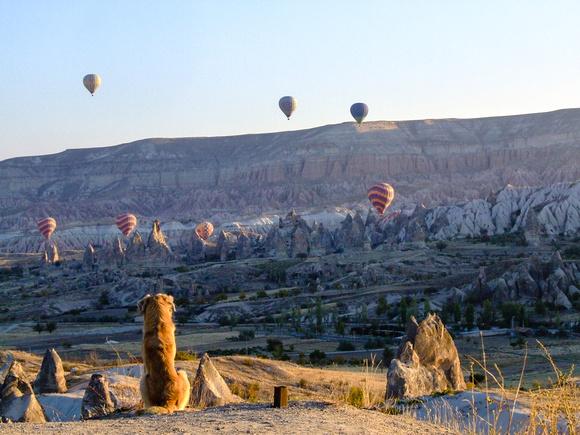 Dog looking at hot air balloons in Turkey