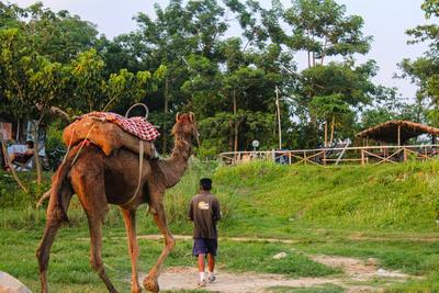 Camel in Sauraha
