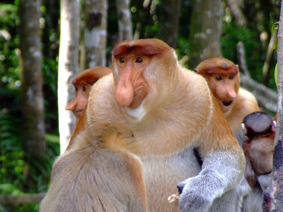 Close up of Male proboscis monkey