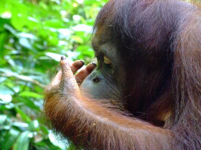 Orangutan eating berries on the ground