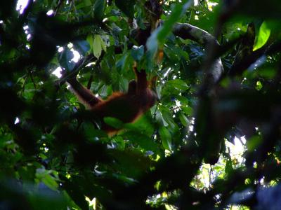 Baby Orangutan in the trees at Sepilok