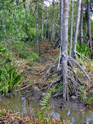 Mangrove swamp in Borneo