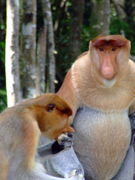 Alpha Male and Female Proboscis monkey