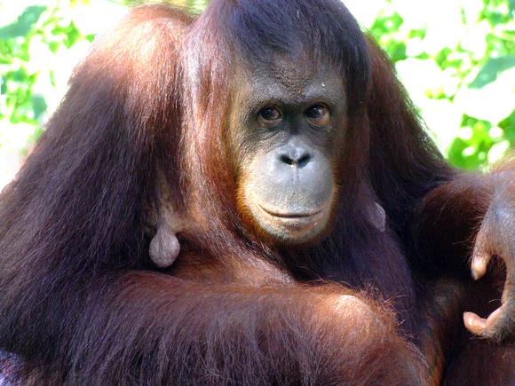 Mother Orangutan close up