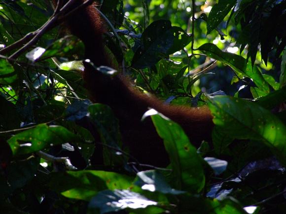 Orangutan hand in Sepilok Sabah, Malaysia