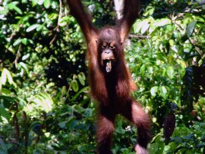 Baby Orang-u-tan at Speikok in Sabah Malaysia