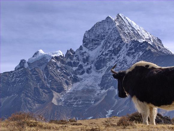 Yak overlooking the Himalayan mountains