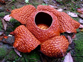 Rafflesia schadenbergiana in the Philippines