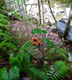 Rafflesia alone by a river